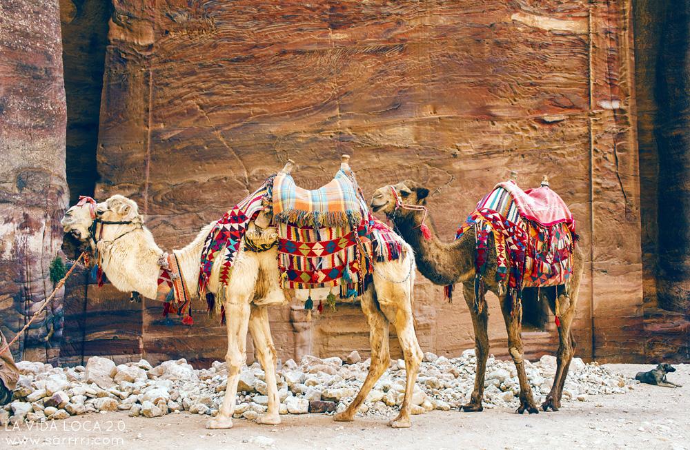 Petra kamelit Jordania
