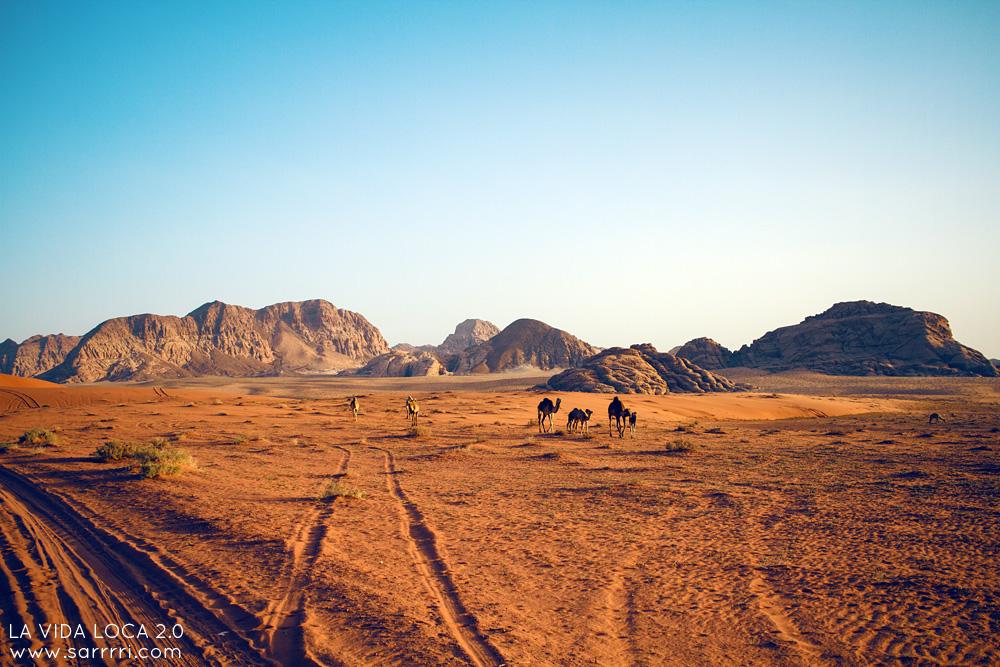 Wadi Rum Kameli