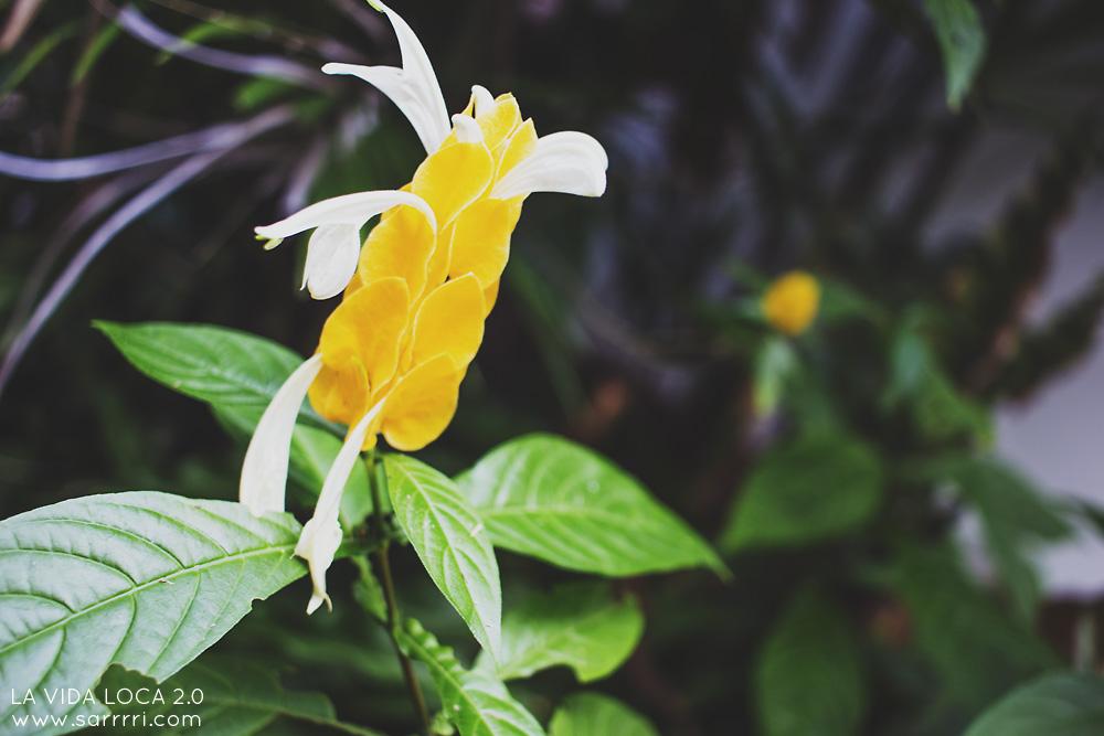 balilainen kasvi