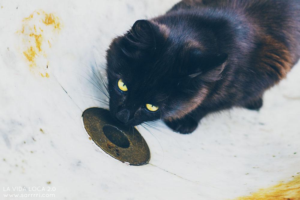 istanbul kulkukissa musta kissa