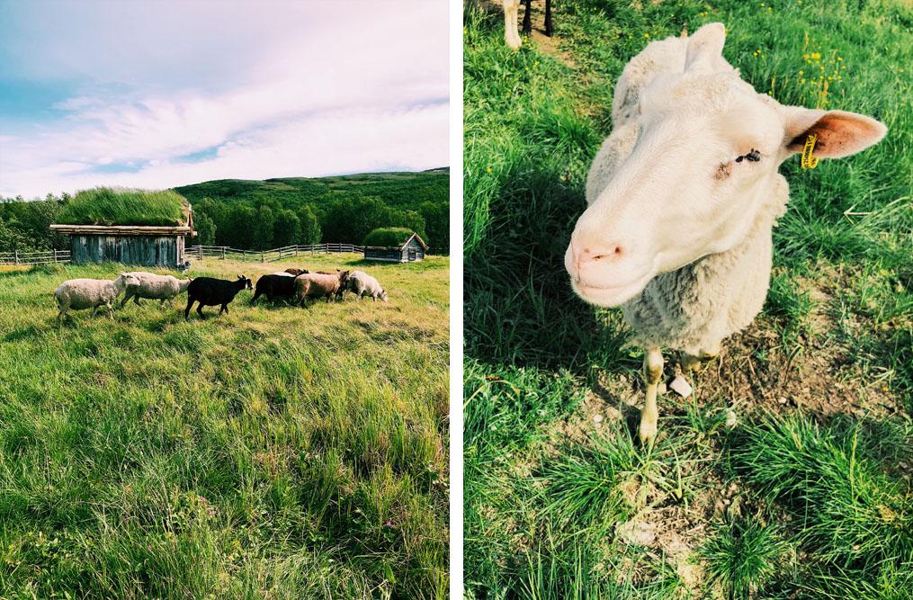 Välimaan saamelaistila lampaat